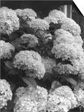 Hortensias en floración Lámina