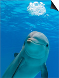 Bottlenose Dolphin Blowing Air Bubbles Underwater Posters by Augusto Leandro Stanzani
