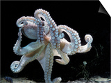 Common Octopus Print