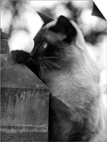 Inquisitive Siamese Prints by Thomas Fall