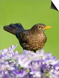 Blackbird Female Posters