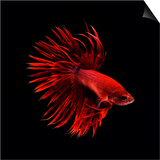 Red Betta Fish Prints