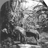 Harvesting Bananas, Costa Rica, 1909 Posters