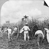 Harvesting Sugar Cane, Rio Pedro, Porto Rico, 1900 Prints by BL Singley