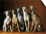 Small Italian Greyhounds Five Sitting Down Together Prints