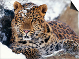 Amur Leopard Endangered Species Poster