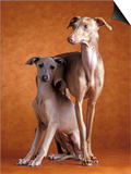 Small Italian Greyhounds Two Together Prints