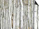 Birch Wood Poster by  PhotoINC