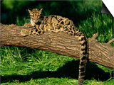 Clouded Leopard Resting on Log Print