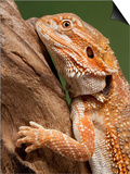 Yellow-Headed Bearded Dragon Posters