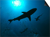 Grey Reef Sharks Swim Through the Divers Bubbles Posters