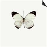 White Butterfly Posters par  PhotoINC