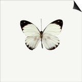 White Butterfly Posters by  PhotoINC