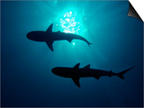 Grey Reef Sharks Grey Reef Sharks Posters