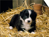 Border Collie Dog Puppy in Straw Posters
