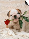 Bulldog Puppy with Rose in Mouth Poster