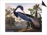 Louisiana Heron Print by John James Audubon