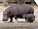 Hippo Mother with Young One Plakater