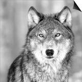 Wolf Plakater