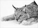 Lynx Prints