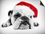 English Bulldog Lying in Studio Wearing a Christmas Hat Prints