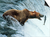 Brown Bear Catching a Fish Posters