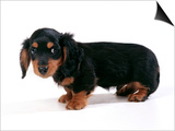 Miniature Long-Haired Dachshund Prints