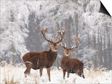 Red Deer Bucks in Snow Prints