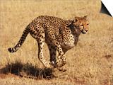 Cheetah Running Poster