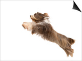 Bearded Collie Leaping in Mid-Air Prints