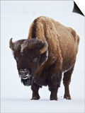 Bison (Bison Bison) Bull Covered with Frost in the Winter Prints by James Hager