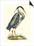 Great Blue Heron Prints by John Selby