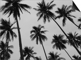 Colima Palms 2 Prints by Ed Fladung