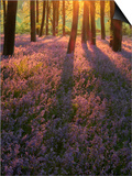 Bluebell Sunset II Poster by Doug Chinnery