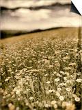 Wild Flowers in Field Posters by Tim Kahane
