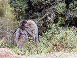 Primate baby monkey on mothers back in Kenya Photographic Print by Joe Center
