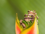 Amphibians pair of frogs in Costa Rica Photographic Print by Kandace Heimer