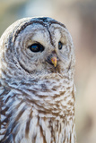 Barred Owl portrait in Oregon Photographic Print by Maralee Park