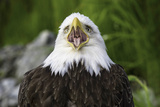 Bald Eagle calling in Alaska Photographic Print by Tom Reichert