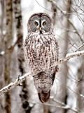 Great Grey Owl in Minnesota Reprodukcja zdjęcia autor Analiese Miller