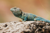 Reptile colorful Lizard in Texas Photographic Print by Chuck Duplant