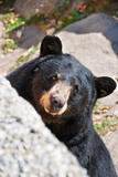 Black Bear in North Carolina Reproduction photographique par Marguerita Melville