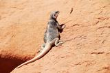 Reptile Lizard in Colorado Photographic Print by Lee Ellsworth