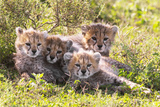 Wild cats Cheetah cubs in Tanzania Photographic Print by Dr. Hermann Brehm