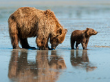 Brown Bear cub with mother in Alaska Photographic Print by Kandace Heimerr