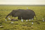Elephant with birds in Kenya Photographic Print by Yara Gomez-Sugg