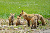 Red Fox family in Illinois Photographic Print by Richard Remington