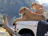 Wild cats lioness and lion in safari park in California Photographic Print by Wendy Morris