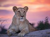 Wild cat lionessa at sunset in South Africa Fotografisk tryk af Beth Stewart