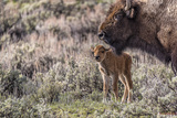 Baby Bison with mother in Wyoming Photographic Print by Howard Hackney